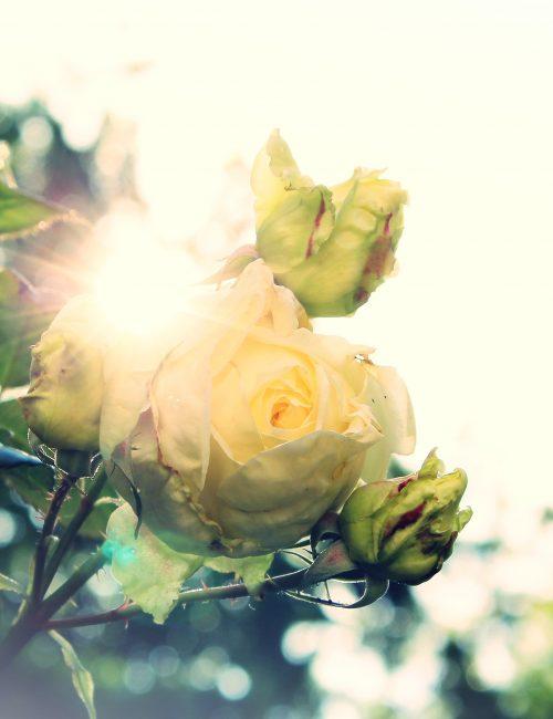 rose-824454